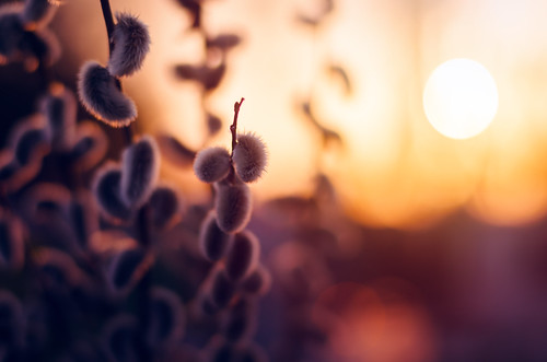 Bark (Pásztor András) Tags: nature bark catkin mood colorful macro sunset sun light yellow blue red spring dslr nikon d5100 hungary andras pasztor photography 2017 50mm wide aperture dof