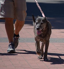 The Dog Walk (swong95765) Tags: dog walk animal pet leash man relationship activity