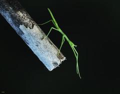 Bicho palo (candi...) Tags: bicho bichopalo insecto invertebrado palo rama macro macrofotografia sonya77 naturaleza nature airelibre