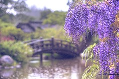 Deep purple dream (PeterThoeny) Tags: saratoga california siliconvalley sanfranciscobay sanfranciscobayarea hakonegardens garden spring flower wisteria blossom wisteriablossom fuji purple outdoor pond lake bridge woodbridge woodenbridge archbridge rain drops raindrop blur bokeh filter 1xp raw nex6 vintagelens dreamlens canon50mmf095 f095 canon photomatix hdr qualityhdr qualityhdrphotography fav200