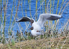 Black headed Gulls (gillybooze) Tags: ©allrightsreserved bird gull birdwatcher water reeds lake outdoor blackheadedgull
