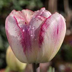 Weiße Tulpe mit roten Rändern nach dem Regen - White tulip with red fringes in the sun after the rain (riesebusch) Tags: berlin garten marzahn