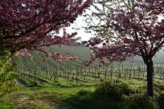 cherry blossoms in Frauenstein, Germany (Takikura) Tags: mist morning spring frauenstein cherryblossoms germany sunshine