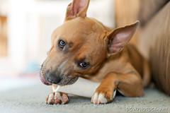 Yummy... (dgwphotography) Tags: ronni rescuedog pittie 85mmf18g nikond600