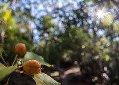 Sun berries (OzzRod) Tags: pentax k1 smcpentaxda1017mmf3545fisheye fisheye sunburst berries sweetpittosporum pittosporumundulatum fruit forest barraggabay dailyinapril2017 bokeh
