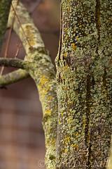 Lichen on Maple 5 (LongInt57) Tags: lichen moss fungus tree maple trunk branch green brown nature kelowna bc canada okanagan