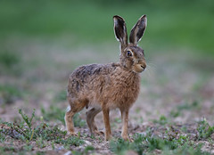 European Hare Lepus europaeus 054-1 (cwoodend..........Thanks) Tags: 2017 wildlife warwickshire hare lepuseuropaeus europeanhare nature leporid lepus