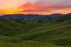Grazing In The Grass (Bob Bowman Photography) Tags: sunset hills green cows sky trees grass california sonomacounty ranch landscape spring nikon