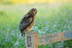 Great Horned Owl (Tang Heng) Tags: