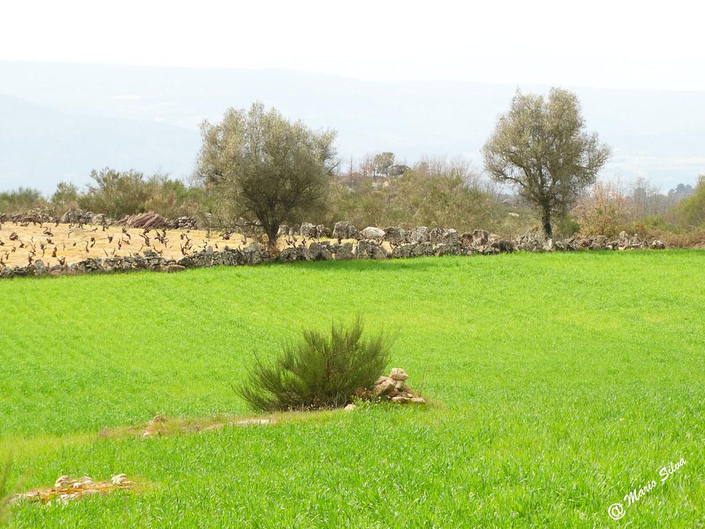 Águas Frias (Chaves) - ...tufo de giesta no meio do campo verde ...
