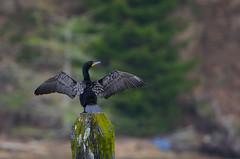 DSC_7730 Double Breasted Cormorant (futzr.fotoz) Tags: double breasted cormorant yaquina bay road newport oregon mossy pier post evergreen