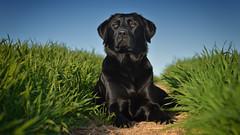 beauty girl (uwe.kast) Tags: labrador labradorretriever labradorredriver dog hund haustier bokeh spring frühling badenwürttemberg nikon nikond600 d600 gras wiese