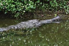 Alligator (scv1_2001) Tags: nikon nikon70200mmvrii nikond750 taiwan taipeizoo 台北市立動物園