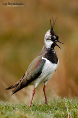 Northern Lapwing, Vanellus vanellus. (Nigel Blake, 2 million views Thankyou!) Tags: white black green bird history nature female canon photography eos natural wildlife lapwing blake calling nigel plover vocal shorebird wader charadriiformes peewit greenplover vanellus 600mm charadriidae f4is 1dsmkiii