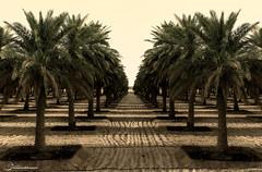 نخل - Sift (محمد الحصين | mohammad al-hussayyen) Tags: farm farms abstraction نخل sift مزرعة طبيعة تمر نخله طبيعه مزرعه مزارع رطب نخلة تجريد