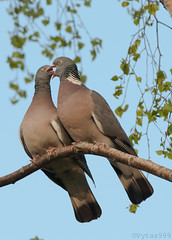 Wood pigeon's wedding 4 (Vytas999) Tags: wedding birds spring nikon couple 300mm twobirds woodpigeon springevening vytas999 woodpigeonswedding