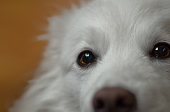 21/52 Niko's begging eyes (utski7) Tags: niko americaneskimo eskie 52weeksfordogs