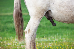 Spring Urge (Ding Ying Xu) Tags: horse male spring masculine steed reproduction stallion palouse reproductiveorgan horsepenis sexualurge