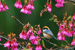 Aegithalos concinnus in New Central Cross , Nantou , Taiwan (photor432) Tags: birds roc taiwan vogels uccelli pjaros   cherryblossom sakura vgel pssaros   chim fglar burung nantou csh kirschblte    krsbrsblom kersenbloesem flordecerejeira   aegithalosconcinnus       fioridiciliegio  flordecerezo fleurdecerisier hoaanho vols in bungasakura  newcentralcross     cshblack432 oiseaux cherrybunga