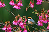 """南投 櫻花 紅頭長尾山雀  Aegithalos concinnus in New Central Cross , Nantou , Taiwan (photor432) Tags: birds roc taiwan vogels uccelli pájaros 南投 桜 cherryblossom sakura vögel pássaros 鳥 櫻花 chim fåglar burung nantou csh kirschblüte ساكورا 벚꽃 птицы körsbärsblom kersenbloesem flordecerejeira 鸟 山櫻花 aegithalosconcinnus 새 الطيور チェリー сакура 紅頭山雀 นก fioridiciliegio ซากุระ flordecerezo fleurdecerisier hoaanhđào voëls éin bungasakura 사쿠라 newcentralcross 紅頭長尾山雀 เชอร์รี่ زهرةالكرز вишнявцвету cshblack432 «oiseaux» cherrybunga """"さくら"""""""