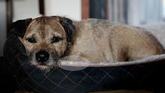 denise-balyoz-dog (dbalyoz) Tags: dog pet cute bed sad canine sleepy tired borderterrier brownandblack