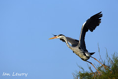 Heron taking flight (Ian Lewry Photographer) Tags: france bird heron nature ian wildlife camargue lewry