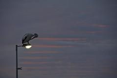 perched (liteseer) Tags: sun sunlight bird clouds sunrise australia pelican qld queensland wellingtonpoint avain