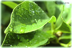 Drops (peter pirker) Tags: green nature water rain austria sterreich wasser sommer natur krnten carinthia grn makro blatt baum regen caon seeboden peterfoto eos550d peterpirker