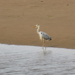 Grey Heron thumbnail