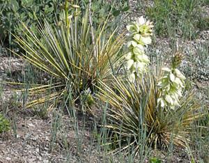 Photo - Yucca