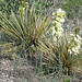 Photo tagged with Yucca