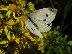 Aug2013 049 Pieris brassicae -Large white butterfly on Senecio jacobaea - Ragwort (monica_meeneghan) Tags: butterfly insect 2013 artistspotlight flowersorinsectsmacro naturescarousel bigbutterflycount