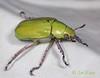 BG2013_221 Chrysina beyeri (edit) (MO FunGuy) Tags: arizona beetles maderacanyon shiningleafchafer santaritamountains pimacounty chrysina bugswarm2013