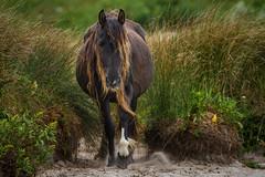 Out of the Grass (jeff_a_goldberg) Tags: horse canada novascotia nationalgeographic wildhorse parkscanada loh sableisland feralhorse fishermansharbour sableislandhorse sableislandpony sableislandnationalparkreserve