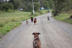 Charge of the dog brigade! (Hodgey) Tags: dogs ava newfoundland lola running ralph jette littlebear boxerx