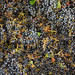 Jordan Harvest 2013 Cabernet crush 2.jpg