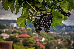 (laura_bostonthek) Tags: germany landscape vineyard harvest grapes apples esslingen