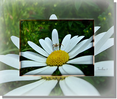 The unstable position. (tarelkaz1) Tags: flowers summer white macro green yellow garden flora insects topshots flickraward photosandcalendar flowersarebeautiful excellentsflowers natureselegantshots naturethroughthelens sonydscs730 theoriginalgoldseal mygearandme ipiccy
