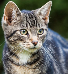 Cat (kugluz) Tags: cats nature animal animals cat deutschland tiere eyes klein little expression tiger natur nrw katze augen auge katzen nordrheinwestfalen tier petit felidae voerde ausdruck friedrichsfeld