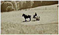 En Normandie (pontfire) Tags: portrait horses horse france animal landscape caballo cheval countryside country normandie farmer paysage animaux 27 campaign campagne normandy cavallo cavalo pferd peasant chevaux eure  armer paysan churl   fermier hautenormandie nikond200 agriculteur leveur cultivateur exploitant