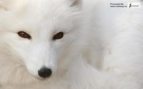 arctic fox animal wallpaper