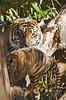 Smithsonian National Zoo Sumatran Tiger  (352) (smata2) Tags: zoo washingtondc smithsonian dc tiger tigre nationscapital smithsoniannationalzoo greatcats itsazoooutthere zoosofnorthamerica flickrbigcats