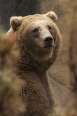 grizzly bear (ucumari photography) Tags: bear brown sc gardens zoo oso october south columbia carolina grizzly riverbanks 2013 specanimal dsc6615 ucumariphotography