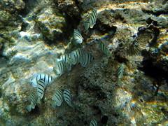 Convict Tangs (zodia81) Tags: ocean sea fish hawaii underwater snorkel oahu snorkeling northshore tropical seaurchin sharkscove