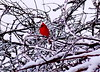 Cardinal (irfangillani) Tags: wild white snow love ice nature beauty birds flickr naturesfinest natureplus worldbest natureselegantshots irfanscollection