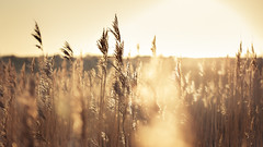 Dune Grasses (Alistair Bennett) Tags: morning cold backlight sand frost bokeh dune coastal grasses sunflare sigma50mm14exdg