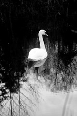 (kuuan) Tags: bw swan 85mm olympus mf f2 zuiko manualfocus mostviertel fzuiko f285mm ybbsau olympusfzuikoautotf285mm