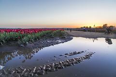 Skagit Valley Tlip Festival (i8seattle) Tags: spring tulips skagit springflowers skagitvalley skagitvalleytulipfestival tulipfestival skagitcounty tulipfields skagittulipfestival skagitvalleytulips