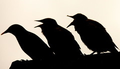 Starlings (Choulabags) Tags: starlings choulabags blinkagain bestofblinkwinners blinksuperstars