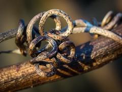 Can you follow the loop? (craig.shaknis) Tags: macro nature vine